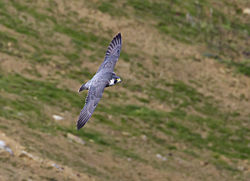 Peregrine photographed at Guernsey Cliffs on 18/3/2012. Photo: © Allan Phillips