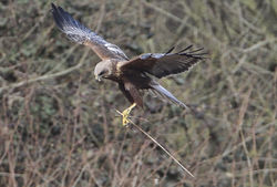 Marsh Harrier photographed at Rue des Bergers [BER] on 18/3/2012. Photo: © Robert Martin