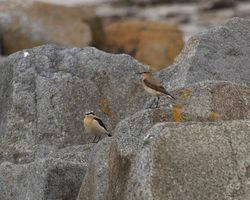 Wheatear photographed at Les Amarreurs on 22/3/2012. Photo: © Cindy  Carre