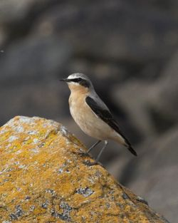 Wheatear photographed at Les Amarreurs [AMM] on 22/3/2012. Photo: © Cindy  Carre