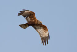 Marsh Harrier photographed at Rue des Bergers [BER] on 24/3/2012. Photo: © Rod Ferbrache