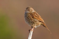 Dunnock photographed at Lihou Headland [LCH] on 25/3/2012. Photo: © Rod Ferbrache