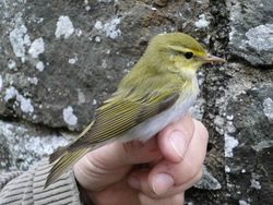Wood Warbler photographed at Trinity [TRI] on 29/4/2011. Photo: © Michelle Hooper