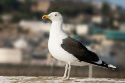 Great Black-backed Gull photographed at Town Harbour [TOW] on 30/12/2009. Photo: © Rod Ferbrache