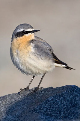 Wheatear photographed at Les Amarreurs [AMM] on 19/3/2012. Photo: © Paul Hillion