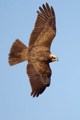 Marsh Harrier photographed at Claire Mare [CLA] on 21/3/2012. Photo: © Paul Hillion