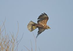 Marsh Harrier photographed at Rue des Bergers [BER] on 27/3/2012. Photo: © Royston Carr�