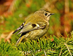 Goldcrest photographed at St Peter Port [SPP] on 27/3/2012. Photo: © Mike Cunningham