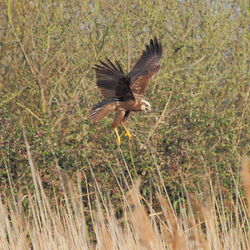 Marsh Harrier photographed at Rue des Bergers [BER] on 27/3/2012. Photo: © Adrian Gidney