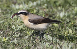 Wheatear photographed at Pulias [PUL] on 27/3/2012. Photo: © Robert Martin