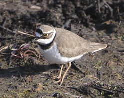 Little Ringed Plover photographed at Vale Pond [VAL] on 27/3/2012. Photo: © Robert Martin