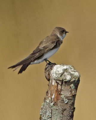 Sand Martin photographed at Grands Marais/Pre [PRE] on 28/3/2012. Photo: © Mike Cunningham