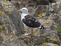 Great Black-backed Gull photographed at Lihou Island [LIH] on 5/6/2009. Photo: © Mike Cunningham