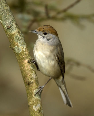 Blackcap photographed at St Peter Port [SPP] on 31/3/2012. Photo: © Mike Cunningham