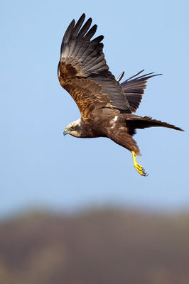 Marsh Harrier photographed at Claire Mare [CLA] on 28/3/2012. Photo: © Paul Hillion