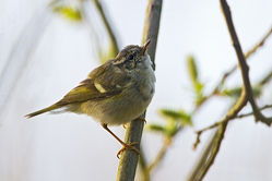 Yellow-browed Warbler photographed at Marais Nord/ Vale Marais on 31/3/2012. Photo: © Chris Bale