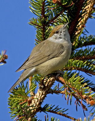 Blackcap photographed at St Peter Port [SPP] on 1/4/2012. Photo: © Mike Cunningham