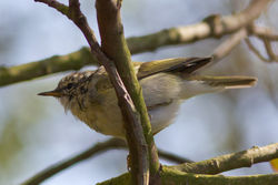 Yellow-browed Warbler photographed at Marais Nord/Vale Marais [NOR] on 1/4/2012. Photo: © Rod Ferbrache