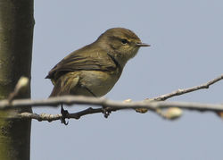Chiffchaff photographed at Grands Marais/Pre [PRE] on 3/4/2012. Photo: © Robert Martin