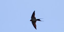 Red-rumped Swallow photographed at Shingle Bank [SHI] on 4/4/2012. Photo: © Vic Froome