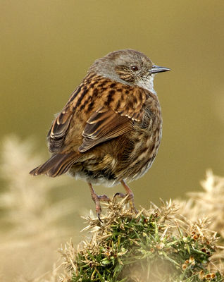 Dunnock photographed at Pleinmont [PLE] on 4/4/2012. Photo: © Mike Cunningham