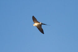 Red-rumped Swallow photographed at Lihou Headland on 4/4/2012. Photo: © Chris Bale