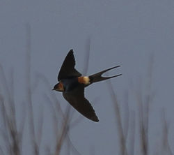 Red-rumped Swallow photographed at Rue des Bergers [BER] on 6/4/2012. Photo: © Robert Martin