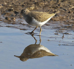 Common Sandpiper photographed at Claire Mare [CLA] on 6/4/2012. Photo: © Robert Martin