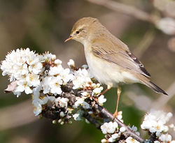 Willow Warbler photographed at Track Marais [TRA] on 6/4/2012. Photo: © Derek Bridel