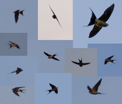 Red-rumped Swallow photographed at Rue des Bergers [BER] on 6/4/2012. Photo: © Mark Lawlor