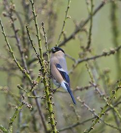 Bullfinch photographed at Rue des Bergers [BER] on 10/4/2012. Photo: © Royston Carr�