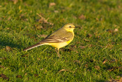 Yellow Wagtail photographed at Grande Mare [GMA] on 11/4/2012. Photo: © Rod Ferbrache