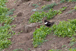 Ring Ouzel photographed at Pleinmont [PLE] on 14/4/2012. Photo: © Rod Ferbrache
