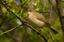 Chiffchaff photographed at Marais Nord/Vale Marais [NOR] on 14/4/2012. Photo: © Rod Ferbrache