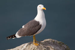 Lesser Black-backed Gull photographed at Herm on 14/4/2012. Photo: © Derek Bridel