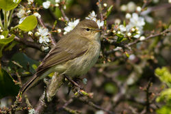 Chiffchaff photographed at Lihou Headland [LCH] on 15/4/2012. Photo: © Rod Ferbrache