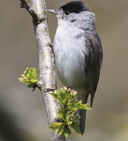 Blackcap photographed at German Military Cemetary, on 21/4/2012. Photo: © Robert Martin