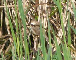 Cetti's Warbler photographed at Grands Marais/Pre [PRE] on 21/4/2012. Photo: © Mark Guppy