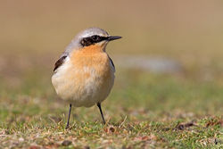 Wheatear photographed at Fort Doyle [DOY] on 20/4/2012. Photo: © Chris Bale