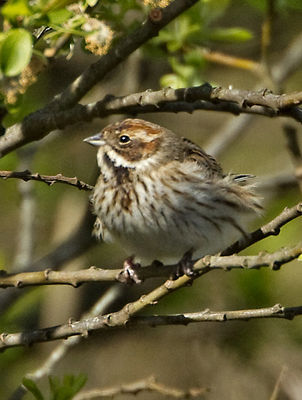 Reed Bunting photographed at Grands Marais/Pre [PRE] on 22/4/2012. Photo: © Mike Cunningham