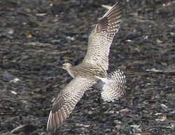 Whimbrel photographed at Shingle Bank [SHI] on 22/4/2012. Photo: © Robert Martin