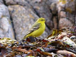 Yellow Wagtail photographed at Fort Hommet [HOM] on 23/4/2012. Photo: © Mark Guppy