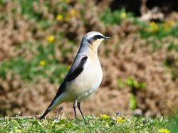 Wheatear photographed at Lihou Headland [LCH] on 24/4/2012. Photo: © Mark Guppy
