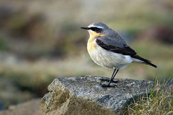 Wheatear photographed at Fort Doyle [DOY] on 24/4/2012. Photo: © Paul Hillion