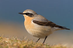 Wheatear photographed at Fort Doyle [DOY] on 23/4/2012. Photo: © Chris Bale