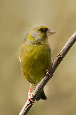 Greenfinch photographed at Bas Capelles [BAS] on 26/4/2012. Photo: © Rod Ferbrache