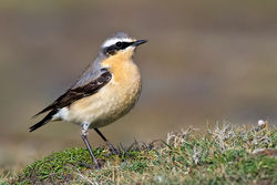 Wheatear photographed at Fort Doyle [DOY] on 25/4/2012. Photo: © Paul Hillion