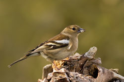 Chaffinch photographed at Bas Capelles [BAS] on 25/4/2012. Photo: © Rod Ferbrache