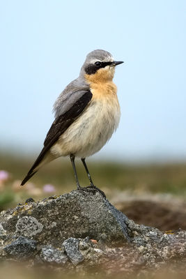 Wheatear photographed at Fort Doyle [DOY] on 27/4/2012. Photo: © Paul Hillion