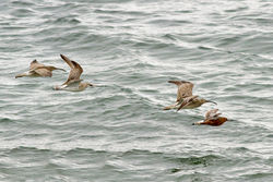 Bar-tailed Godwit photographed at Shingle Bank [SHI] on 28/4/2012. Photo: © Rod Ferbrache